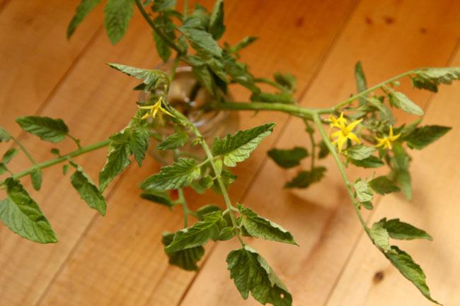 propagate-tomatoes-apieceofrainbowblog-5