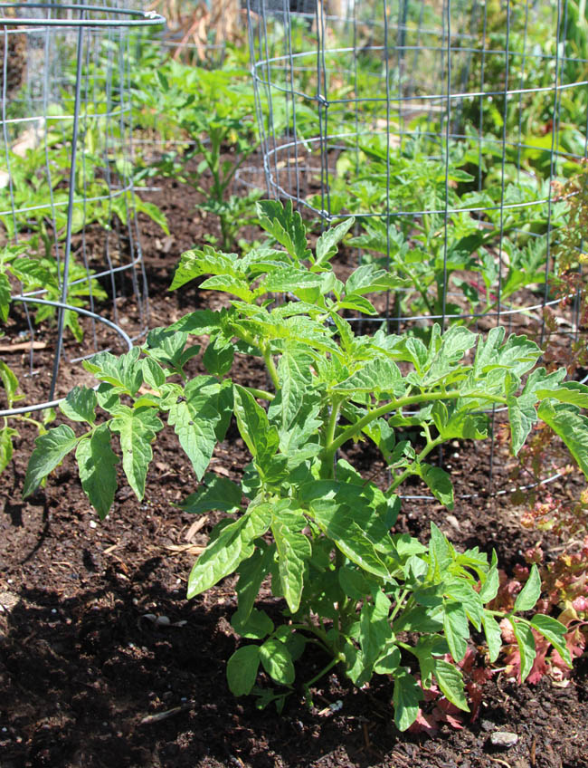 propagate-tomatoes-apieceofrainbowblog-7