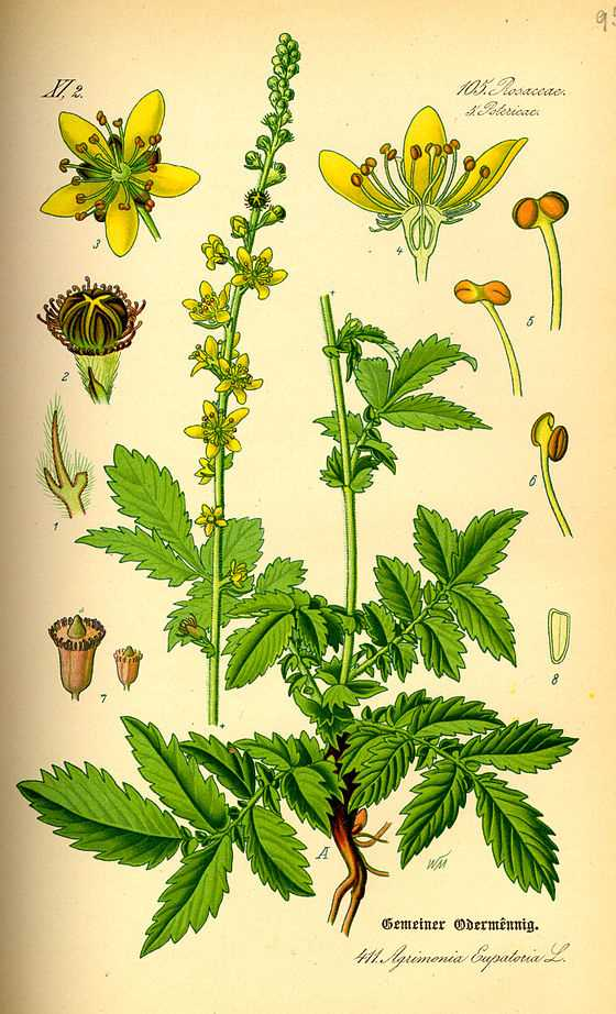 Illustration_Agrimonia_eupatoria0