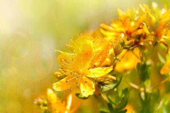 Třezalka a její zázračné účinky + 7 léčivých receptů